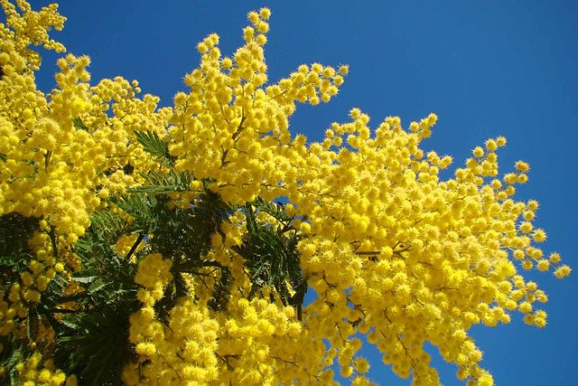 mimosa salerno italia italy festa delle donne internationale vrouwendag